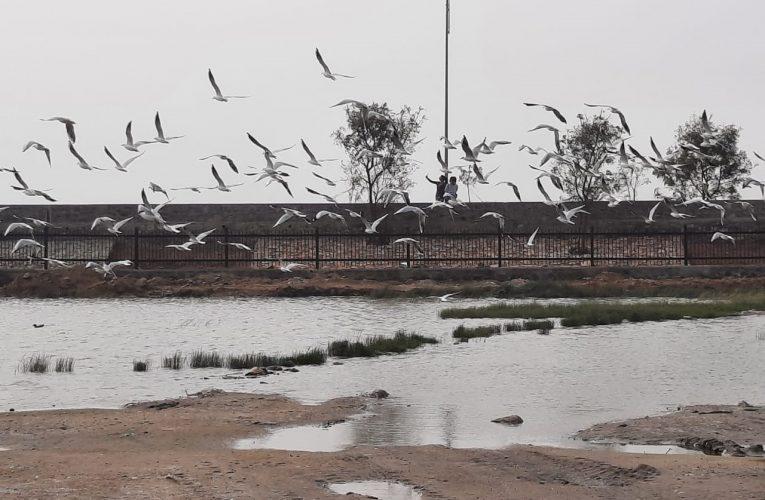 अजमेर – नम भूमि में पक्षियों का चारा सहज रहा है उपलब्ध